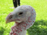 Fiona-a female turkey. Notice there is no comb on her head. (Fiona lived at Peace Ridge Sanctuary.) http://peaceridgesanctuary.org
