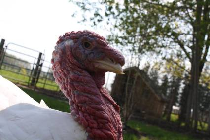 After falling off a truck last winter, Benjamin, who is blind in his right eye, is now enjoying life at Cedar Row Farm Sanctuary in South Western Ontario, Canada.
