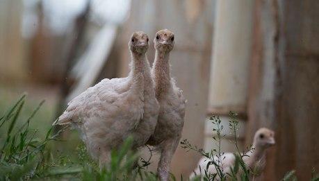 Lucky Turkeys live at Edgar's Mission in Lancefield, Victoria, Australia